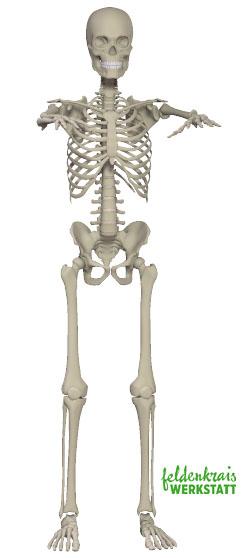 Skeleton front skelett standing